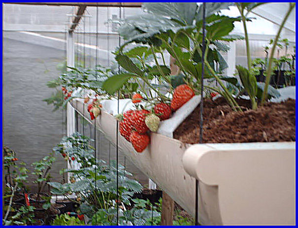 culture des fraises hors sol. Black Bedroom Furniture Sets. Home Design Ideas